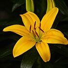 Orange Lily by pcfyi
