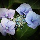 Hydrangea Flower by Phill Sacre