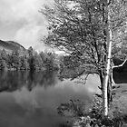 Lake Birch Trees by Susan R. Wacker