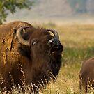 Mighty Bison by Teresa Zieba