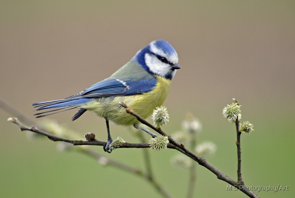 Blue tit on Pussy Willow by M.S. Photography/Art