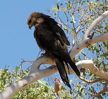 Kimberley Black Kite by DianneLac