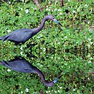 Little Blue Heron Swamp Reflection by Kathy Baccari