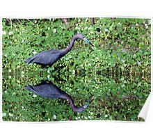 Little Blue Heron Swamp Reflection Poster