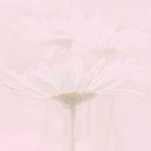 Upsy Daisy by Catherine Hamilton-Veal  ©