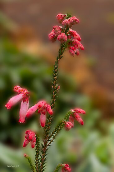 Pink Hairy Heath (Erica Cerinthoides) by Elaine Teague