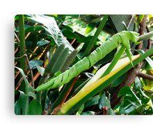 Monstera Deliciosa - new leaf unfolding Canvas Print