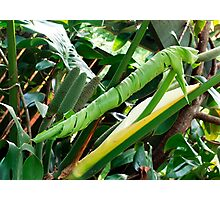 Monstera Deliciosa - new leaf unfolding Photographic Print