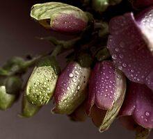 """Foxglove Enchantment................"" by Rosehaven"