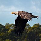 American Bald Eagle In Flight by Kathy Baccari