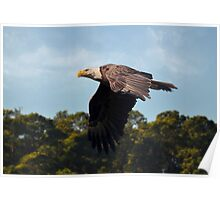 American Bald Eagle In Flight Poster