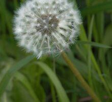 Dandelion  by BlossomingBeth