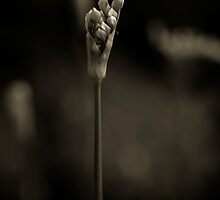 Chives in monochrome by alan shapiro