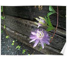 Passiflora 2 Poster