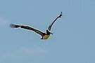 Brown Pelican in the Yucatan by Yukondick