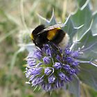 Honey bee on a thistle flower by Anna Myerscough