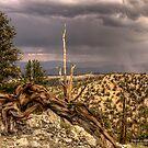 Bristlecone Pines by Leasha Hooker
