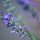 lavender flowers by Chelsea Wildner