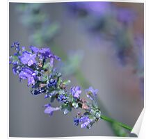 lavender flowers Poster