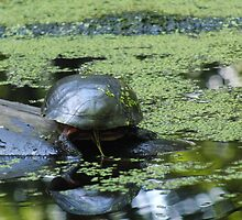 Turtle in Green Pond by gabriellephoto