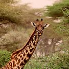 Giraffe in the Serengeti by David McGilchrist