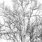 Spring Birch by Susan R. Wacker