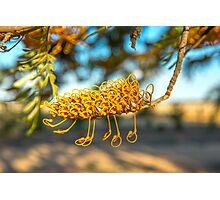 Grevillea flower of silky oak, Photographic Print