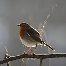 Early Morning Robin by Hovis