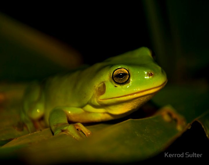 Green Tree Frog #2 by Kerrod Sulter
