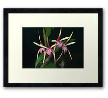 Dendrobium Pee Wee Hybrid Framed Print