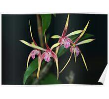 Dendrobium Pee Wee Hybrid Poster