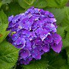 Purple by Soulmaytz