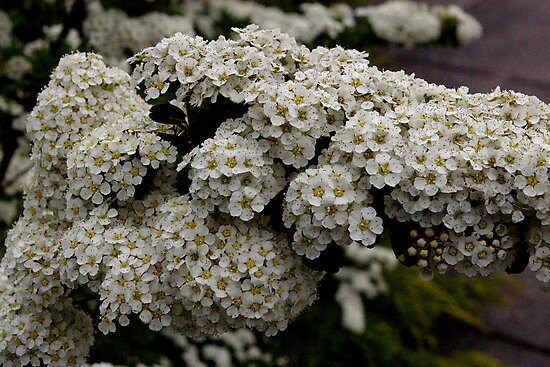 bunches of bitsy blossoms by dedmanshootn