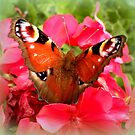 Peacock butterfly on geranium by ©The Creative  Minds