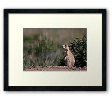 Prairie Watchdog Framed Print