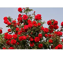 Red Roses And Blue Sky Photographic Print