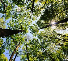 Surrounded by trees, low angle shot by Marko  Gligorov
