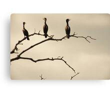 The Snappy Conversation of Cormorants Canvas Print