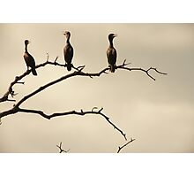 The Snappy Conversation of Cormorants Photographic Print