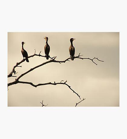 The Snappy Conversation of Cormorants Photographic Print