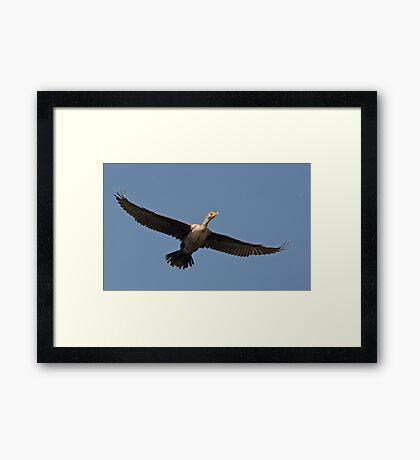 Flying Cormorant Framed Print
