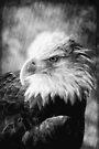 American Bald Eagle by KBritt