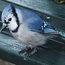 Blue Jay Close-Up, Central Park, New York City by lenspiro