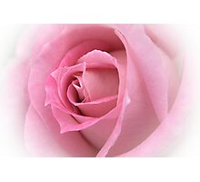 Pink English Rose Photographic Print