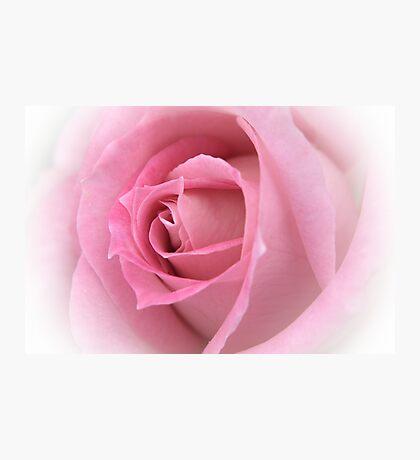 Pink English Rose Photographic Print