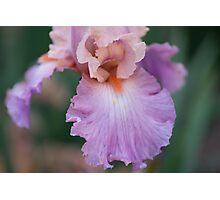 Irresistible Iris Photographic Print