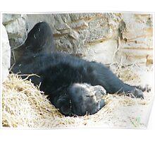 Sleeping Bear, Queens Zoo, Flushing Meadow Park, Queens, New York Poster