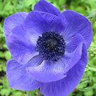 Dreamy Blue Anemone by kathrynsgallery