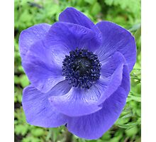 Dreamy Blue Anemone Photographic Print