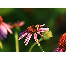 Bumble me Daisy Photographic Print